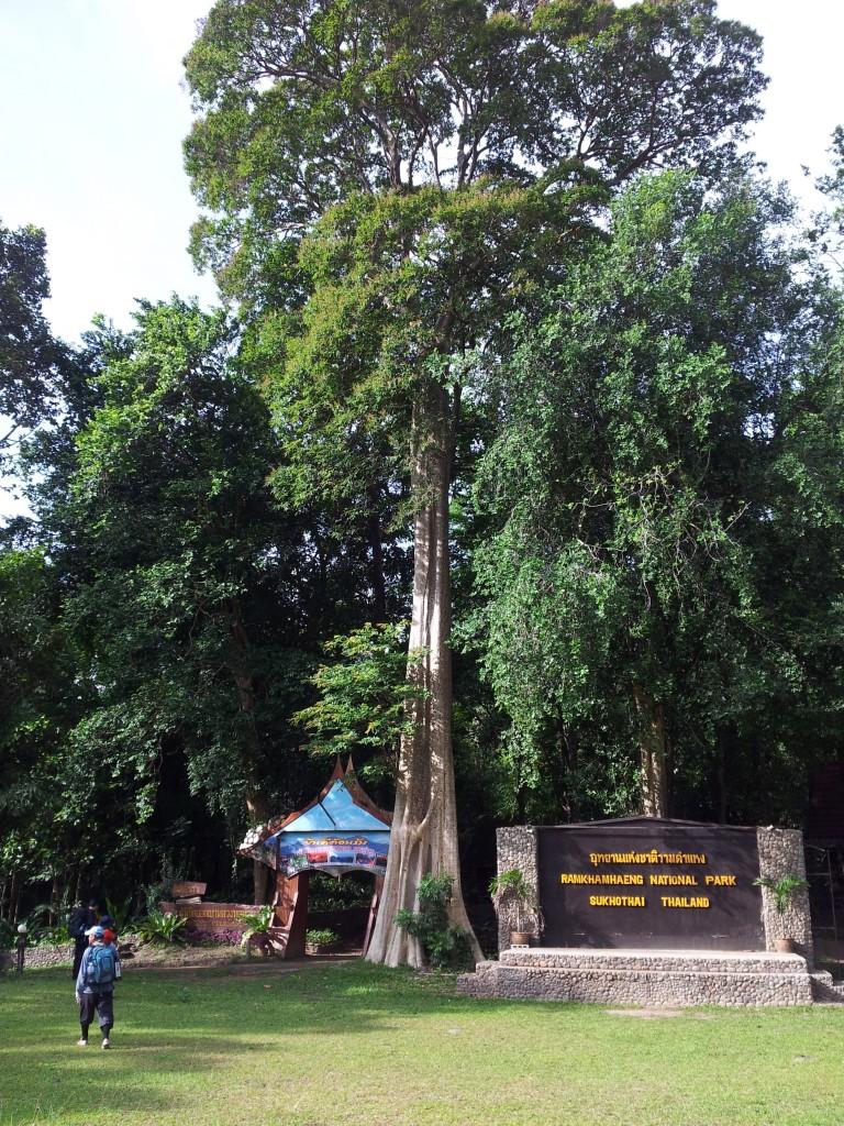 ทางขึ้นเขามีต้นไม้ (เข้าใจว่าคือต้าประดู่ยักษ์) ตั้งตระหง่านต้อนรับนักท่องเที่ยว