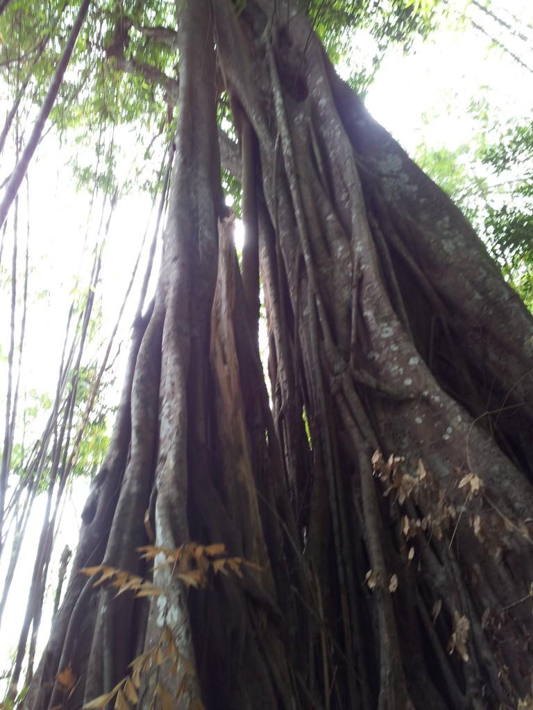 ป่านี้เต็มไปด้วยต้นประดู่ยักษ์ และต้นไม้ขนาดใหญ่หลายๆชนิด สมบูรณ์ดีครับๆ